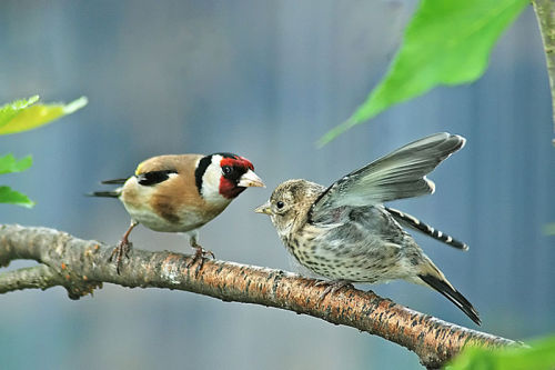 Goldfinch with Young by John Bacon