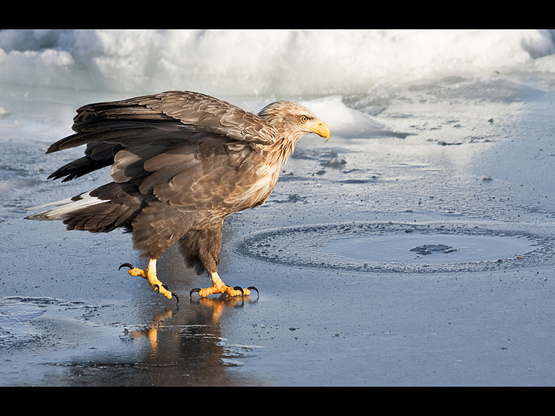 Top Nature White Tailed Eagle Ice Walking by Sue Wilson