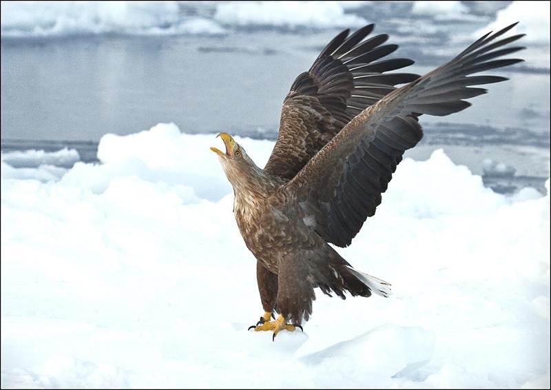White-tailed Eagle calling