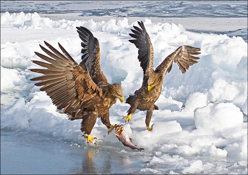 White-tailed Eagle dispute