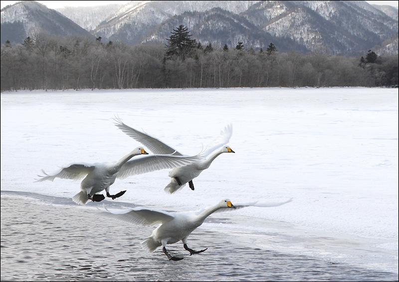 Whooper Swans landing
