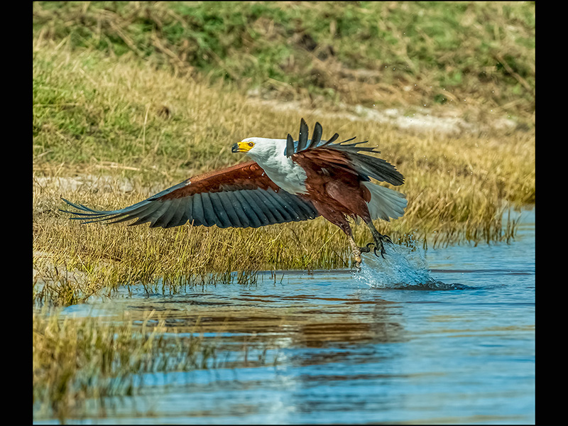 Top C African Fish Eagle by Ron Trevis