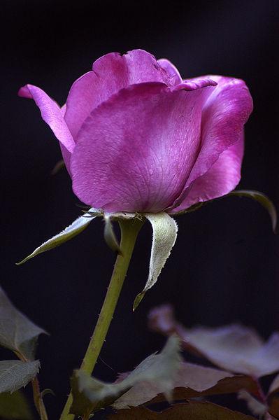 David Austin Fragrant Plum Rose