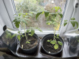 Early Tomato Plants