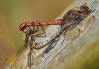 Common darter dragonflies mating