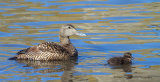 Eider duck with chick