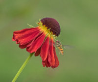 Helenium and Hoverfly