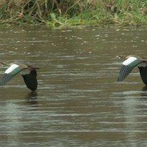 African Black Ducks in flight