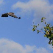 African Harrier-Hawk, Selous, Tanzania-2