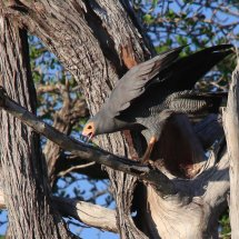 African Harrier-Hawk, Selous, Tanzania