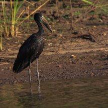 African Open-billed Stork, Birds, Selous, Tanzania