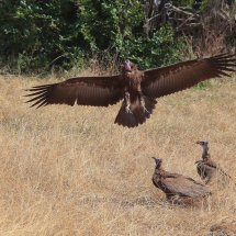 African  White-backed vulture, Tanzania
