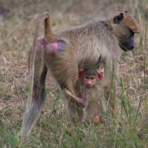 Baboon and infant,Selous, Tanzania