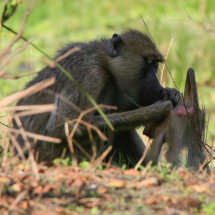 Baboon cleaning infant baboon, Selous, tanzania
