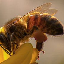 Bee, Marlow Common