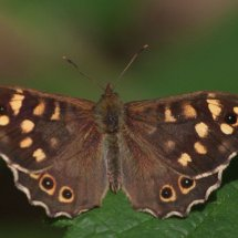 Butterfly, Marlow Common