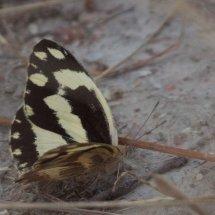 Constantine's Swallowtail, Tanzania