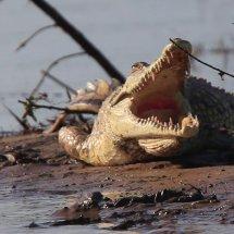 Crocodile, Rouha, Tanzania