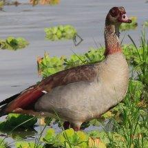 Egyptian Goose, Selous, Tanzania