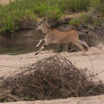 Eland, Ruha, Tanzania-2