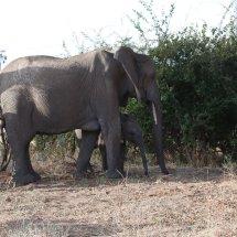 Elephant, Ruha, Tanzania