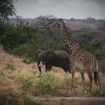 Elephant and Giraffe, Rouha, Tanzania
