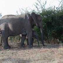 Elephant and calf, Ruha, Tanzania