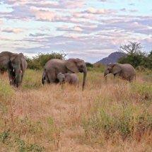 Elephants, Ruha, Tanzania