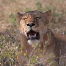 Female Lion, Selous, Tanzania