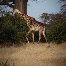 Giraffe at sunset, Ruha, Tanzania