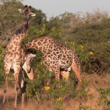 Giraffe fight, Selous, Tanzania