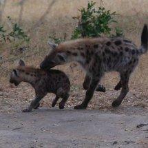 Hyeena and cub, Selous, Tanzania