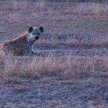 Hyena at sunset, Selous, Tanzania