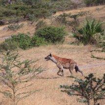 Hyena hunting, Selous, Tanzania