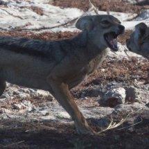 Hyena in dispute, Rouha, Tanzania