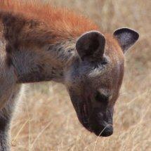 Hyenea, Selous, tanzania