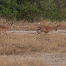 Impala, Ruha, Tanzania-2