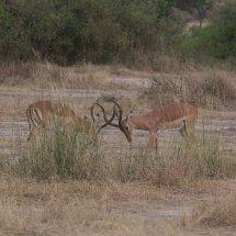 Impala, Ruha, Tanzania