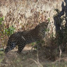 Leopard, Ruha, Tanzania
