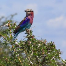 Lilac-breasted Roller, Selous, Tanzania-2