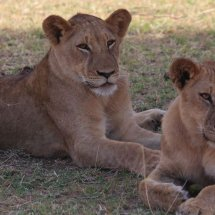 Lions, Selous, Tanzania