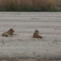 Lions at sunset, Ruha, Tanzania