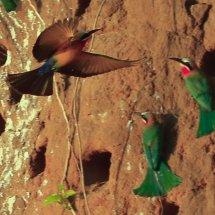 Little Bee-eater, Selous, Tanzania-2