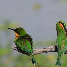 Little Bee-eater, Selous, Tanzania