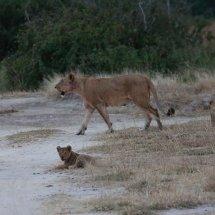 Loiness and cubs, Ruha, Ranzania
