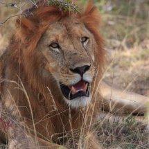 Male Lion, Selous, Tanzania