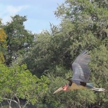 Marabou Stork, Selous, Tanzania-2