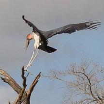 Marabou Stork, Selous, Tanzania-3