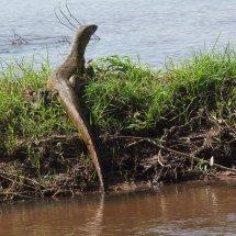 Nile Monitor Lizard, Rouha, Tanzania-2