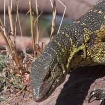 Nile Monitor Lizard, Rouha, Tanzania
